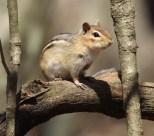 Chipmunk. Photo by Karen Miller.