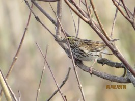 Savannah Sparrow. Photo by Joyce Depew.
