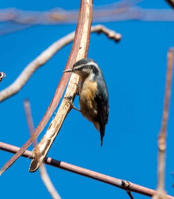 Red-breasted Nuthatch. Photo by Bill Fiero.