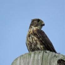 Merlin. Photo by Maryangela Buskey