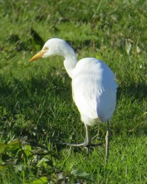 Cattle Egret. Maryangela Buskey.