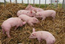 Photo of Через АЧС поголів'я свиней в Румунії скоротилось на 10%