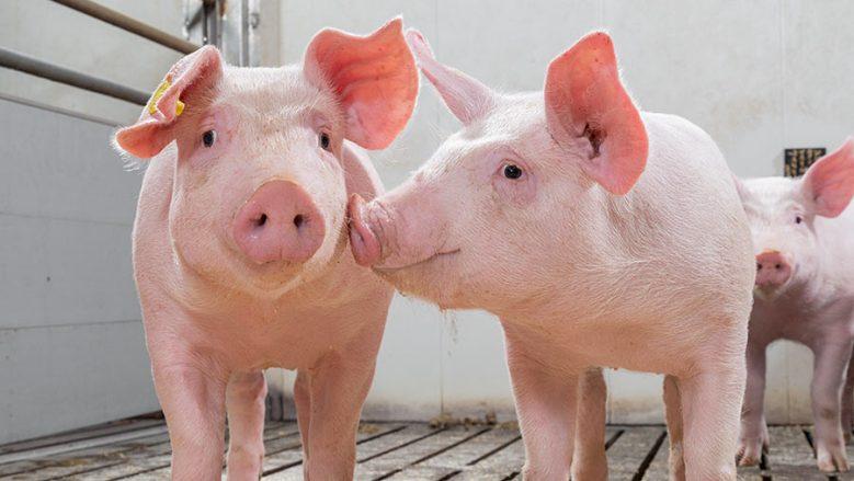 Оприлюднено закупівельні ціни на живих свиней на 10 – 16 травня