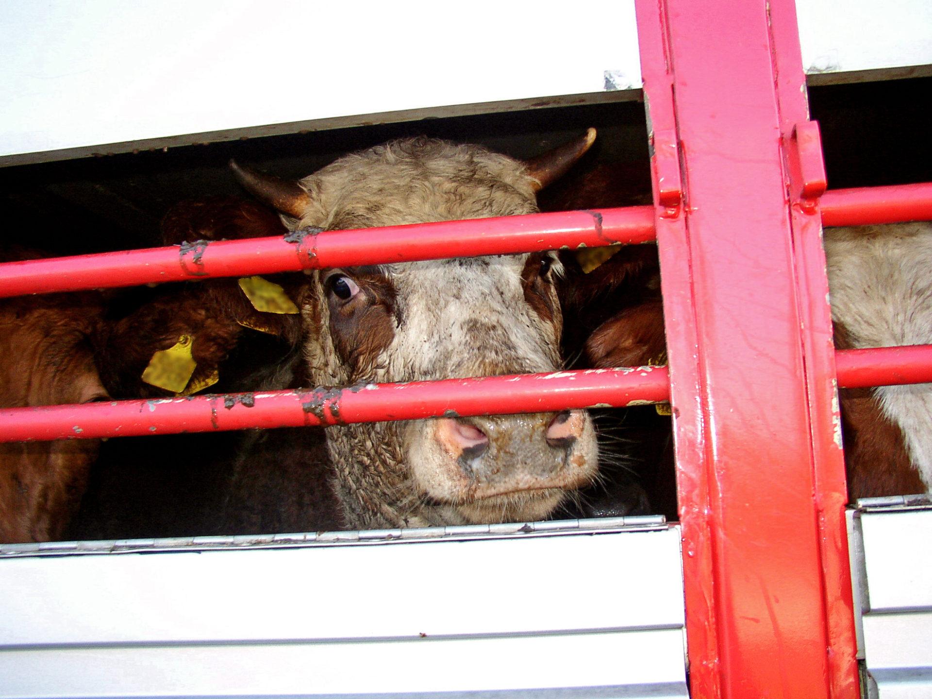 ЄС відмовиться від використання кліток у тваринництві до 2027 року