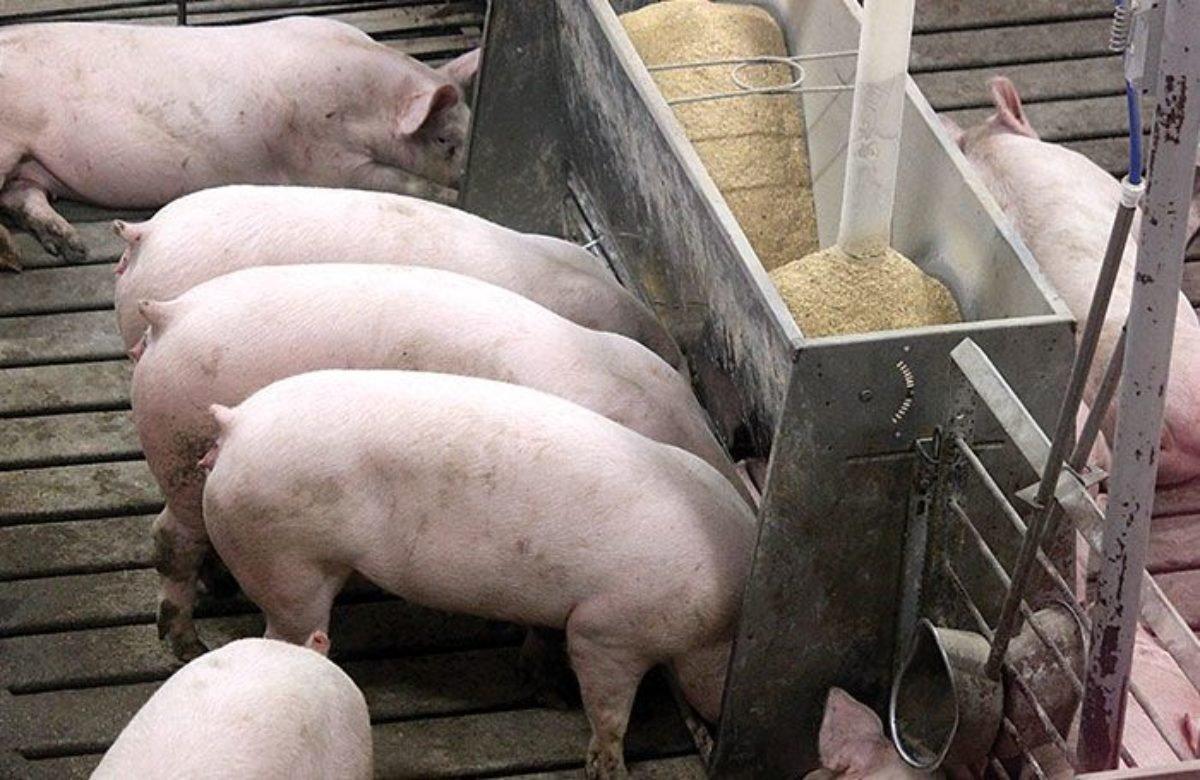 Оприлюднено закупівельні ціни на живих свиней на 21 – 27 червня 2021 року