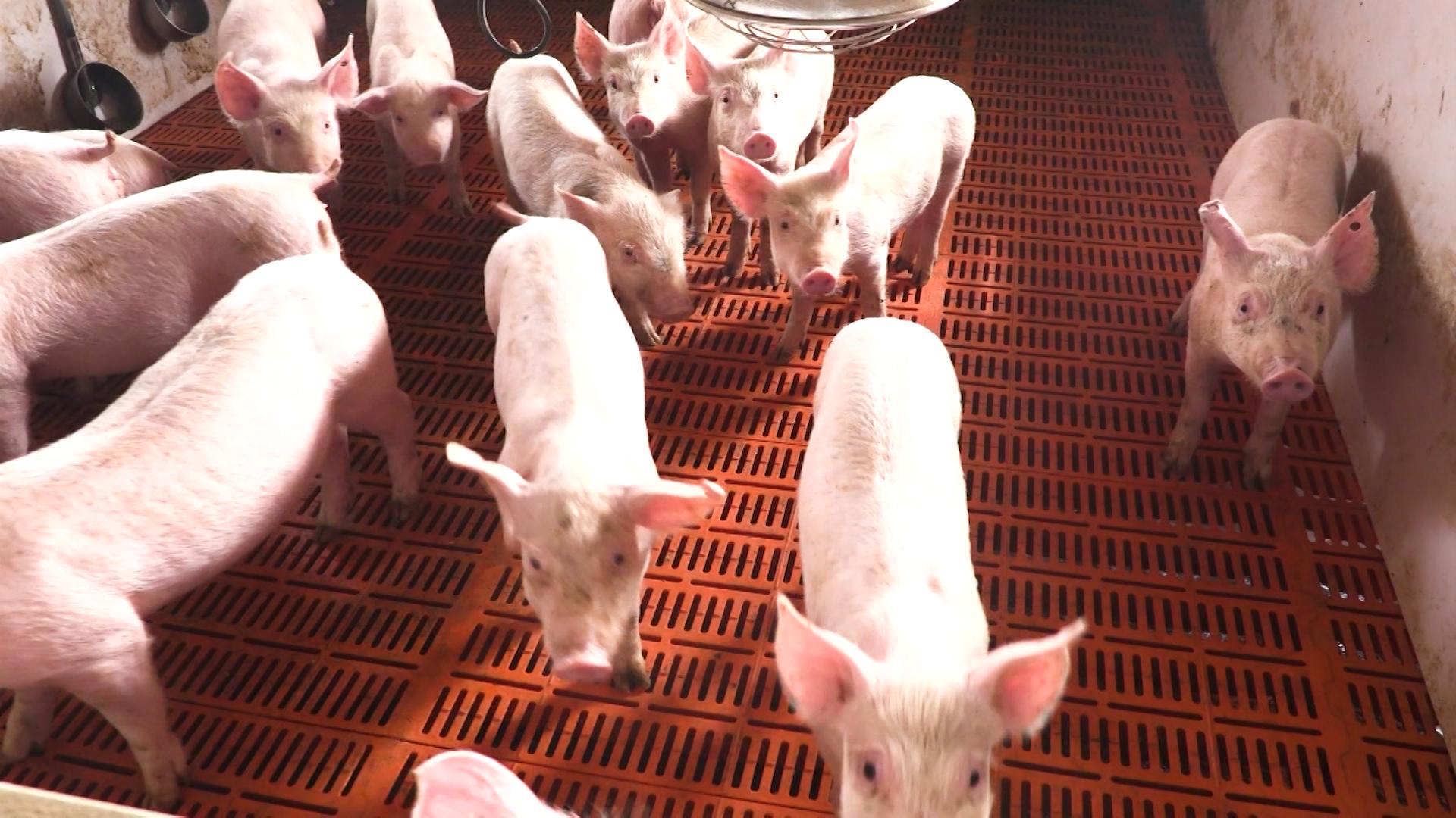 Китай збільшить виробництво свинини на 20%