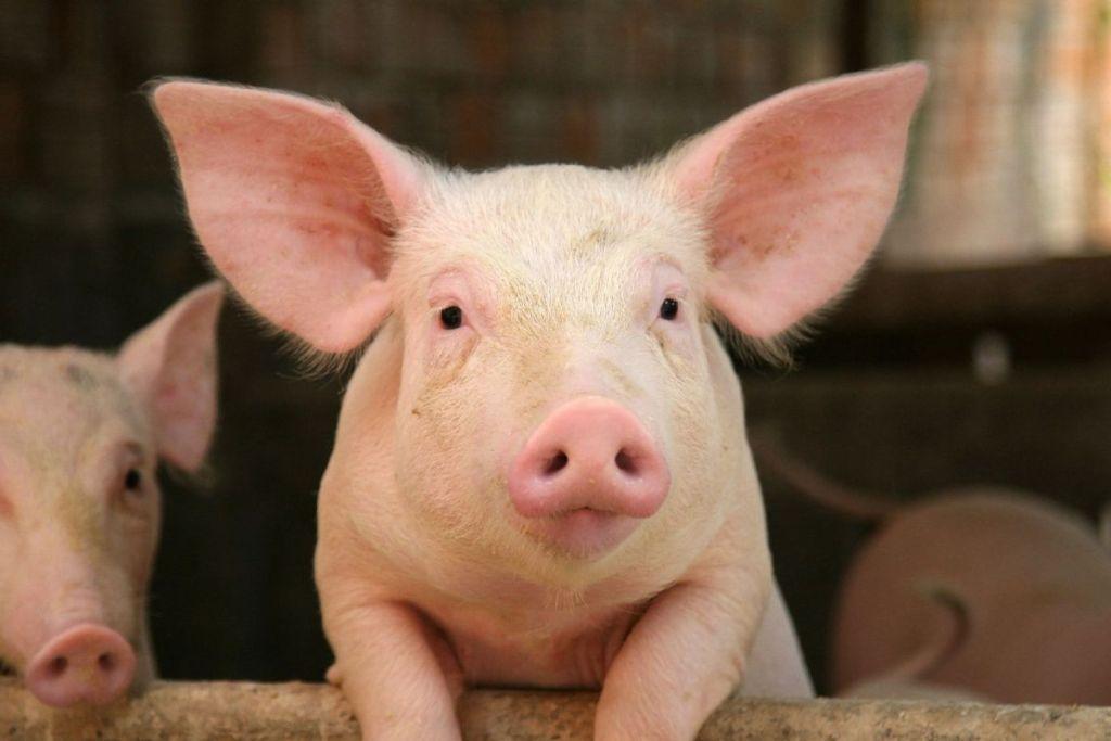 Німеччина повідомила про перший випадок АЧС серед домашніх свиней