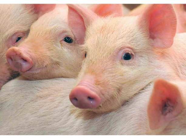 Оприлюднено закупівельні ціни на живих свиней на 2 – 8 серпня 2021 року