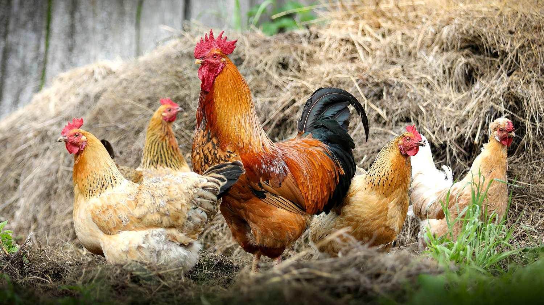 В Гані загинуло 10 000 птахів через спалах пташиного грипу
