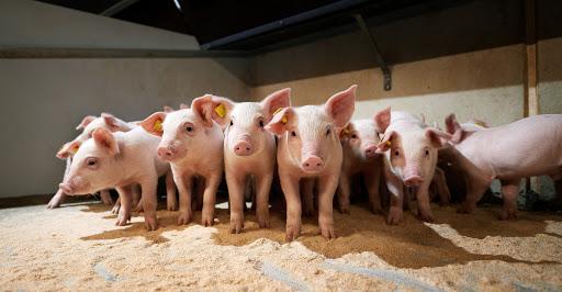 В 2021 році в Україні збільшилося пологів'я свиней