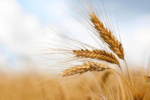 Погода впливає на якість врожаю в світі