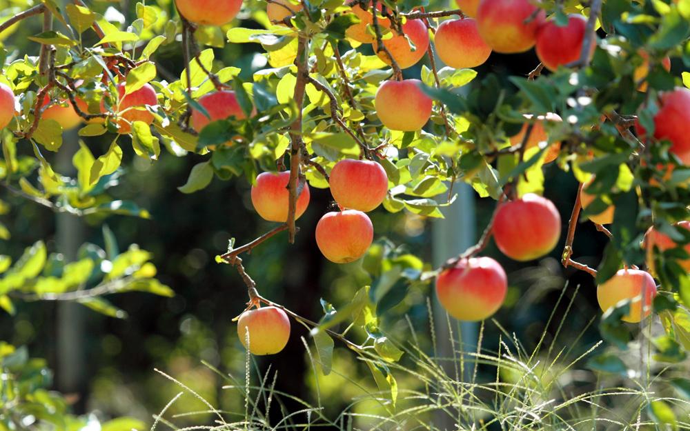 созревают ранние яблоки