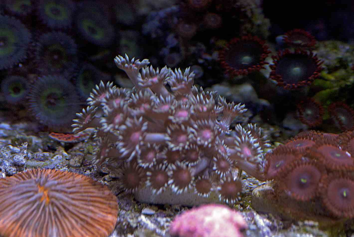 LPS Corals  ME Coral