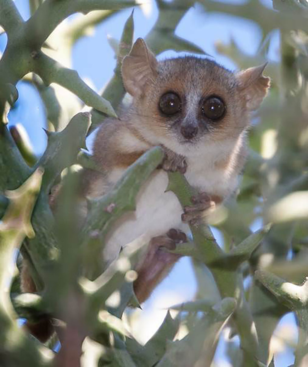 Mouse lemur could serve as ideal model for human disease  News Center  Stanford Medicine