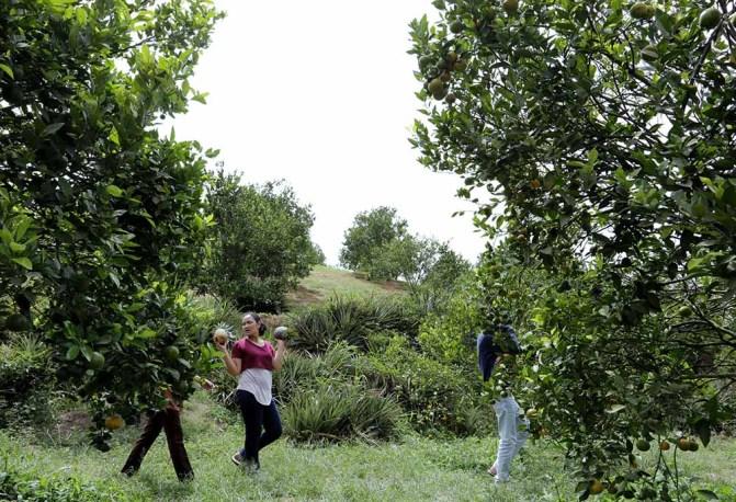 Selain memetik sendiri buah jeruk, wisatawan juga dapat membeli dan memanen sendiri hasil bumi yang ditanam di areal perkebunan milik warga tersebut. Seperti buah nenas hingga sayur mayur yang pastinya masih sangat segar. MTD/Dadang Butar Butar