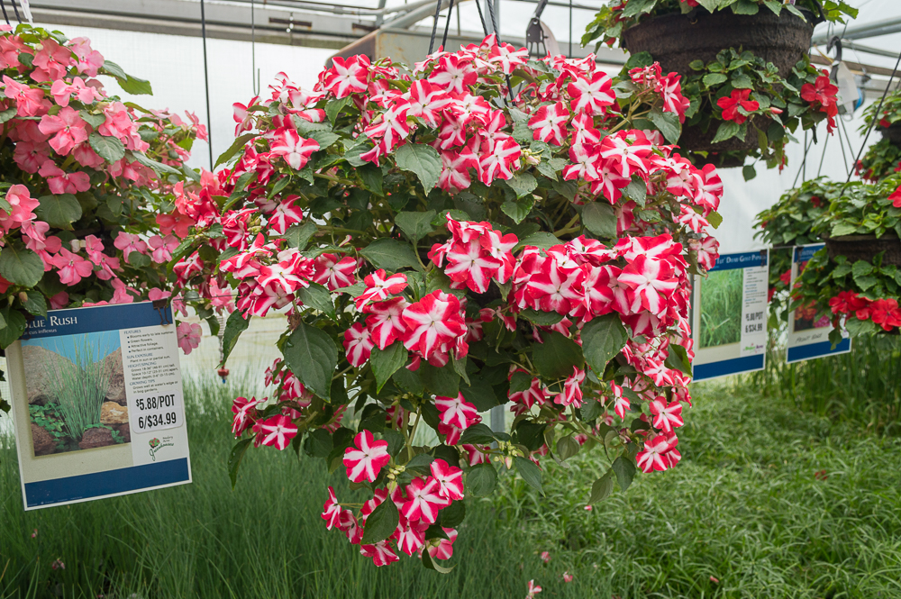 Impatiens - Accent Red Star - Basket