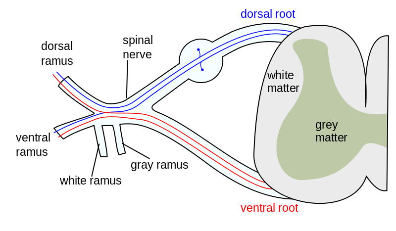 structure of spinal nerves
