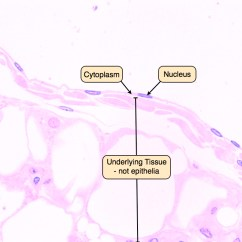Skin Layers Diagram Labeled Simple Renault Clio Airbag Wiring Epithelium Lab Squamous