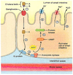 effect of cystic fibrosis on epithelial cells biology essay In people suffering from cystic fibrosis why does the shape of the palisade cells retain chloride ions and then stop water being released is it something to do with channel protein systems - trivia question /questions answer / answers.