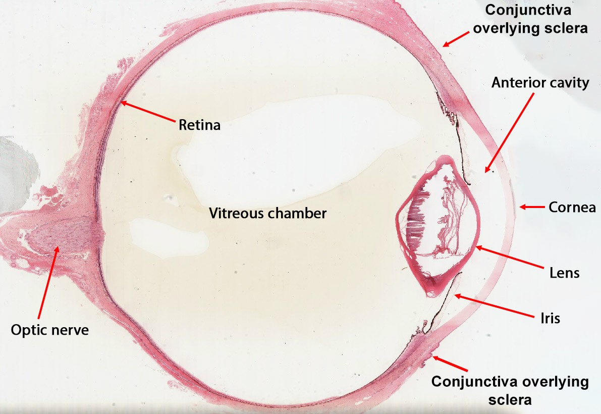 Neurohistology Eye Layers Meddists
