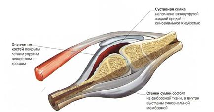 Из каких частей состоит сустав человека. Из чего состоит сустав