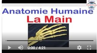anatomie des mains poignet