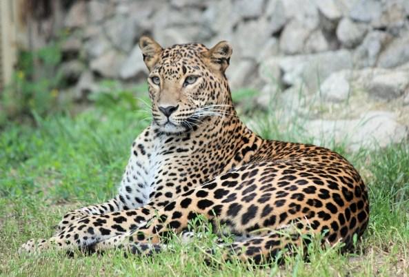 leopard-4084772_1920.jpg