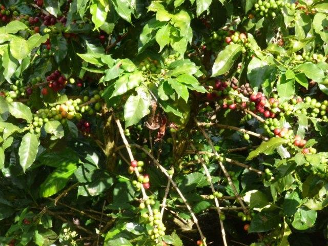 A coffee plant at a farm outside Ciudad Bolívar
