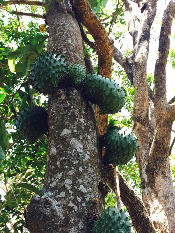 Guanabana fruit seen on the trail