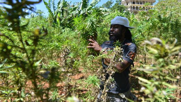 jamaica_ganja_AP118814694048