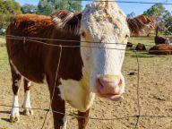 Cow of Lake Ginninderra