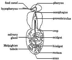 Cockroach Digestive System Wikipedia