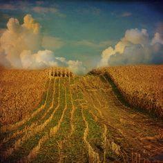 al's cornfield  2