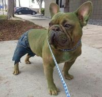 Hulk Dog | COSPLAY | Pinterest