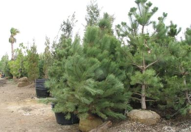 Afghan Pine Trees For Sale