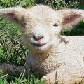 Southdown baby sheep lions and lambs pinterest