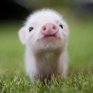 Tea Cup Pig! bahhh! i want one