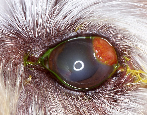 Pin by Animal Eye Clinic of NJ on Surgeries and Treatments