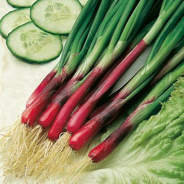 Onion (Salad) North Holland Blood Red Redmate