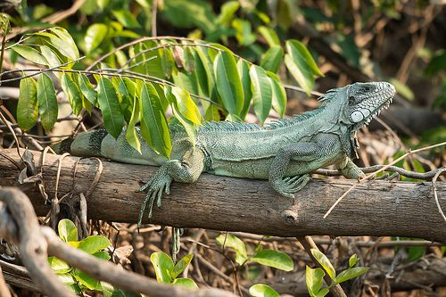 Image result for iguana in a tree