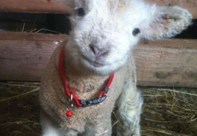 Babydoll Sheep For Sale