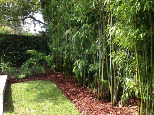 bamboo hedge pool - google