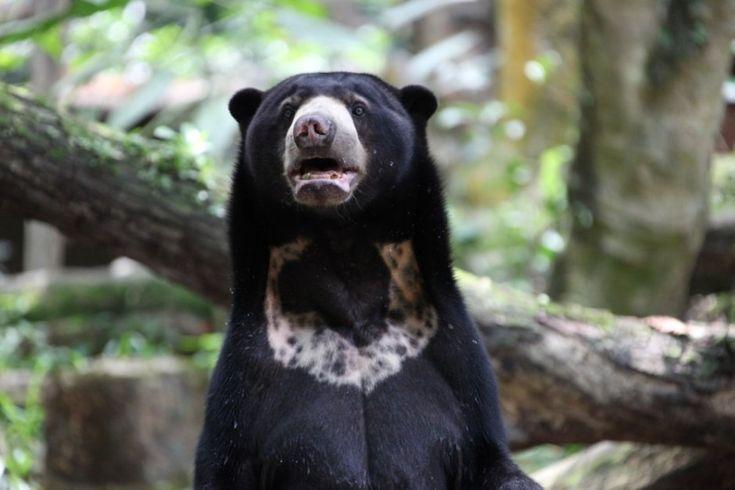 Recht opstaande Zonne beer //De zonnebeer wordt deels bedreigd door stropers die gal van de dieren in China verkopen als traditioneel medicijn, aldus WCU. Ook wordt het leefgebied van de kleinste berensoort steeds kleiner door ontbossing.
