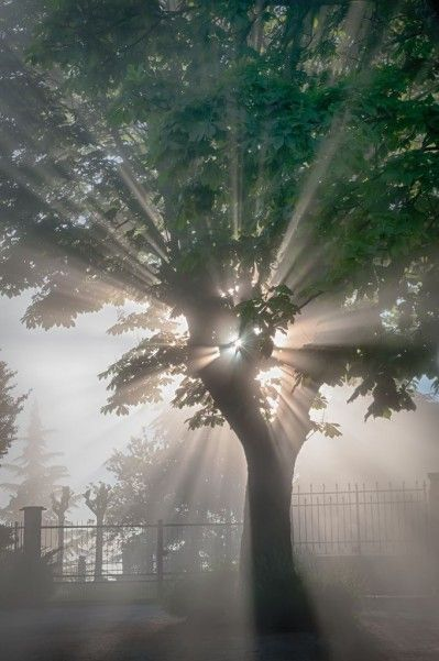 Crepuscular rays through a tree