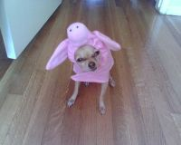Dog in Pig Costume