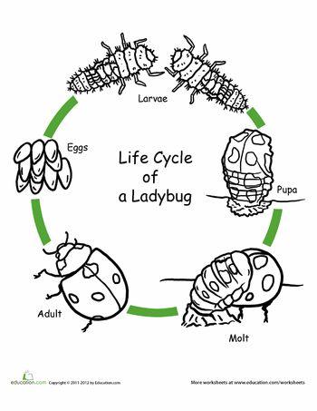 Color the Life Cycle: Ladybug