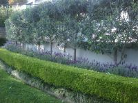 Olive trees privacy screen   trees   Pinterest