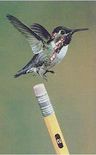 Nuestro zunzuncito figura entre las miniaturas más simpáticas del reino animal. Foto: Internet