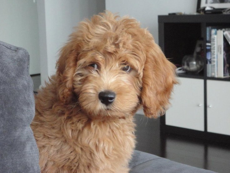 Conan!! My toy goldendoodle. )
