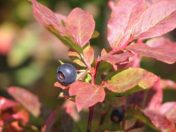 edible berries of the Pacific NW | Take a hike (or bike or ...